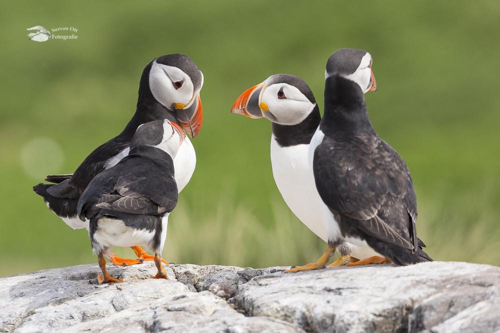 Papegaaiduikers Puffins - Farne eilanden Farne Islands